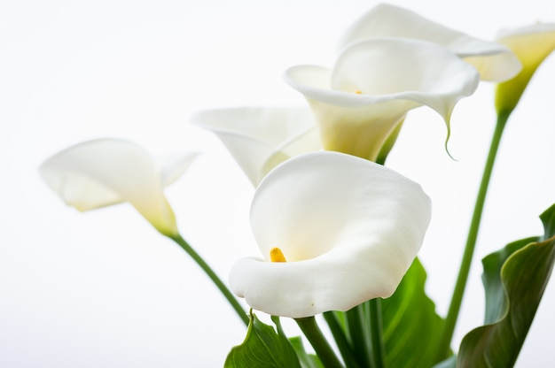 Beautiful calla lilies flowers with leaf isolated on the white background Premium Photo