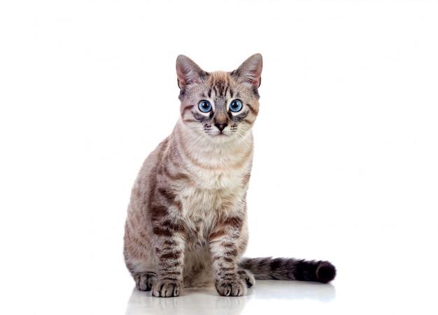 Beautiful cat with blue eyes Premium Photo