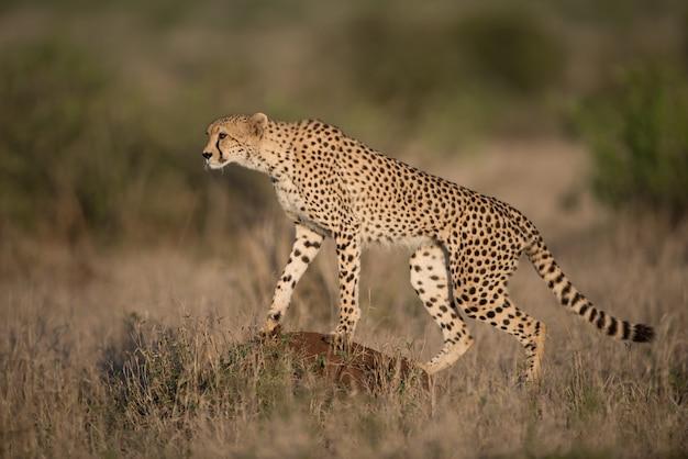 背景をぼかした写真を獲物のための美しいチーター狩猟 無料写真