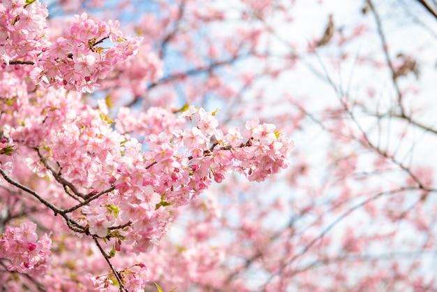 Beautiful cherry blossom in matsuda, japan Premium Photo