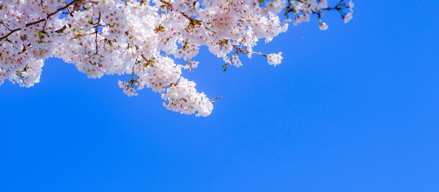 Beautiful cherry blossom or pink sakura flower tree in spring season Premium Photo