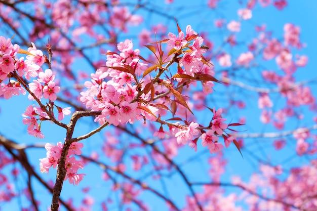 Beautiful cherry blossom pink sakura flower with blue sky in spring beautiful cherry blossom pink sakura flower with blue sky in spring premium photo mightylinksfo