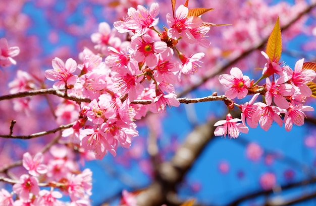 Beautiful Cherry Blossom Pink Sakura Flower With Blue Sky In Spring