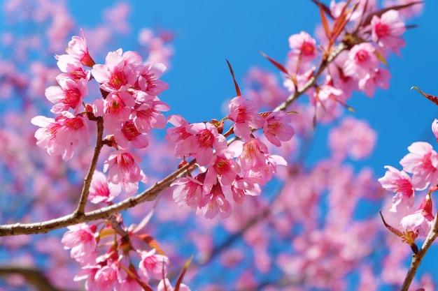 Beautiful cherry blossom pink sakura flowers with blue sky in beautiful cherry blossom pink sakura flowers with blue sky in spring premium photo mightylinksfo