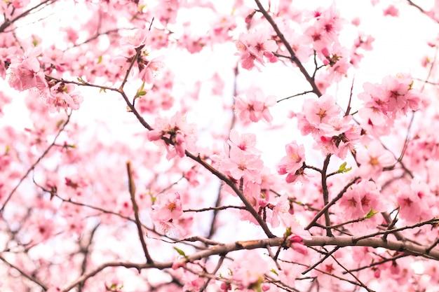 Bellissimo fiore di ciliegio Foto Gratuite