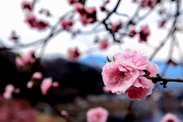 Beautiful cherry blossoms. sakura flowers in japan. travel spring time. Premium Photo