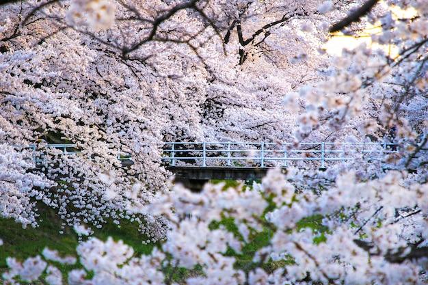 Beautiful Cherry Blossoms Sakura Flowers In Japan Travel Spring