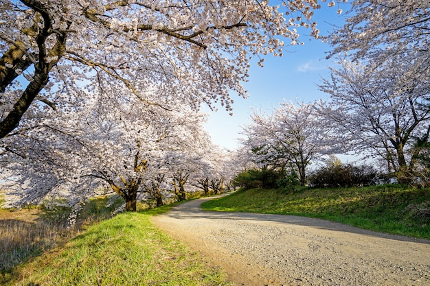 Beautiful cherry blossoms. sakura flowers in japan. travel spring time. Premium Photo