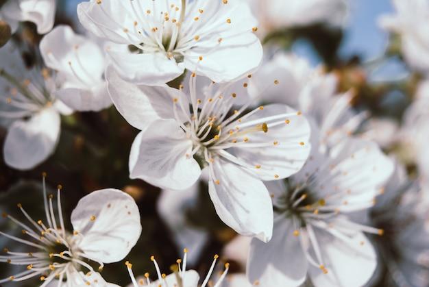 Beautiful cherry flowers. sakura Premium Photo