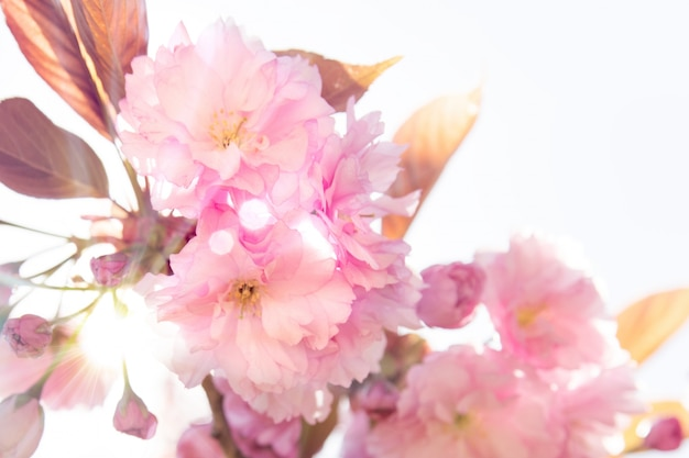 Beautiful Cherry Free Photo