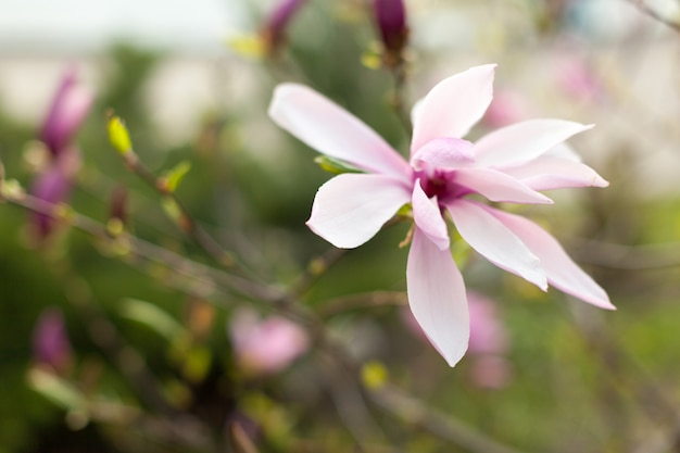 Beautiful close up magnolia flowers. Premium Photo