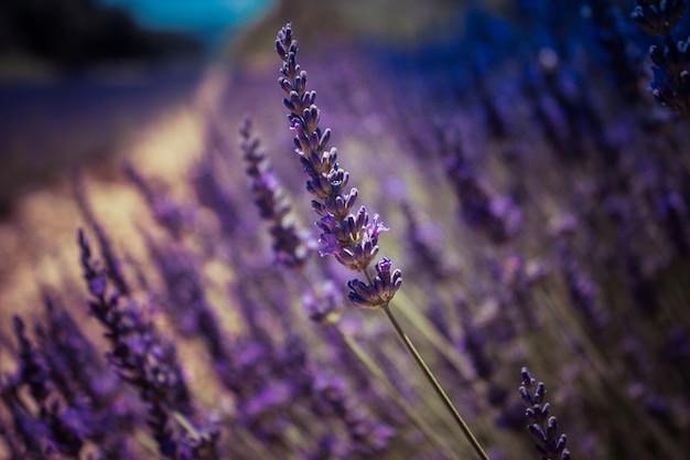 아름 다운 필드에서 라벤더 꽃의 총을 닫습니다 프리미엄 사진