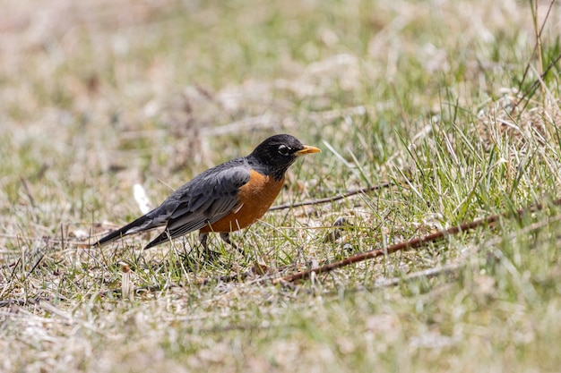 Beautiful closeup of a little  robin on the grass under the sunlight Free Photo