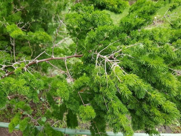 Bello colpo del primo piano del pino dello stagno con le foglie verdi nella foresta Foto Gratuite