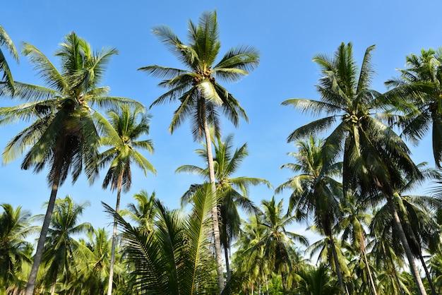 Beautiful coconut palm trees farm on blue sky background. Premium Photo