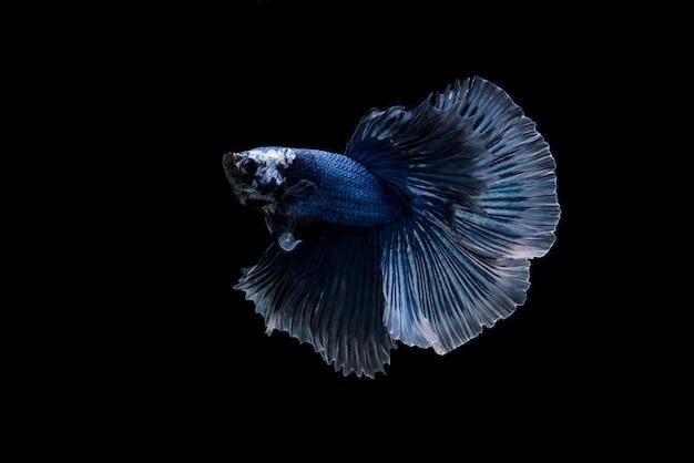 Beautiful colorful of siamese betta fish Free Photo