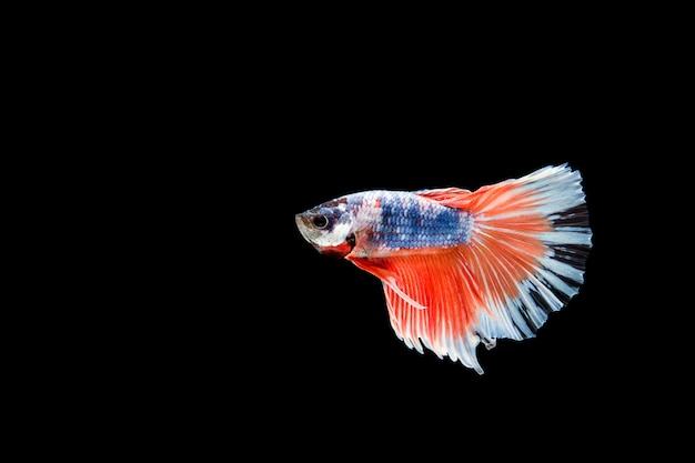 Beautiful colorful of siamese betta fish Free Photo