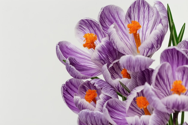 Beautiful crocuses flowers blooming bright colored on light background with copy space. close up gentle spring petals for postcard. selective focus. Premium Photo