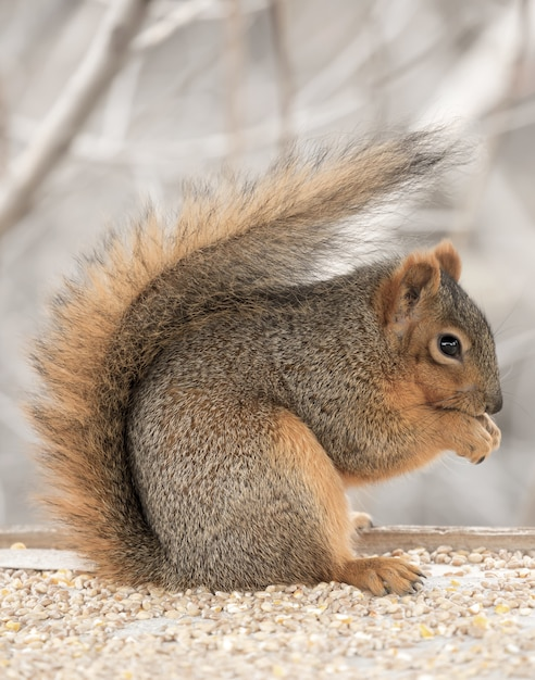 Beautiful cute fox squirrel hanging out by itself Free Photo