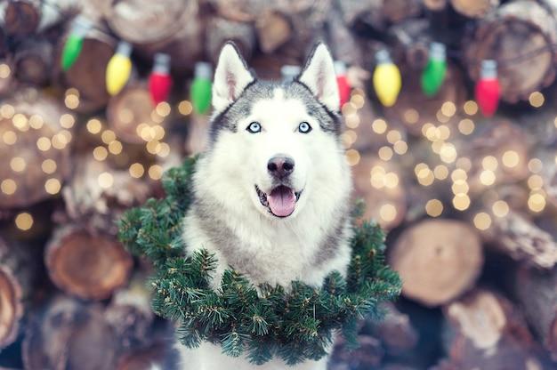 Beautiful cute smiling siberian husky dog sitting with christmas wreath on neck. Premium Photo