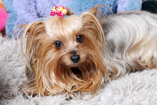 Beautiful and cute york terrier dog Free Photo