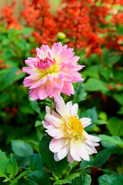 美しいダリアの花 Premium写真