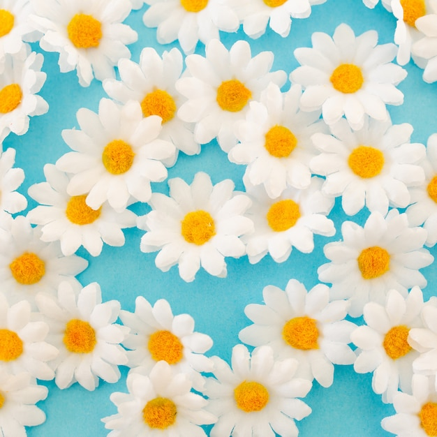 Beautiful daisies close up view on blue background Free Photo
