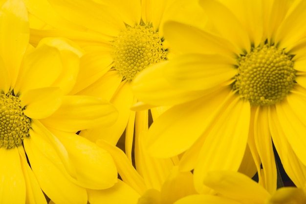 Beautiful daisies with yellow petals Photo | Free Download