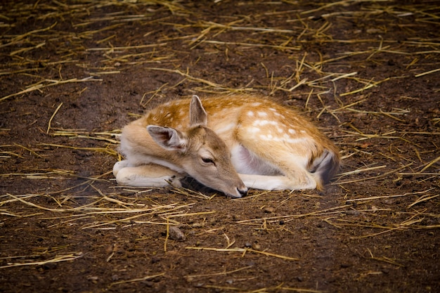 Beautiful deer laying on the ground at a zoo Free Photo
