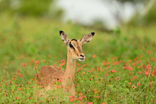 Beautiful deer sitting on a field covered with green grass and small pink flowers Free Photo