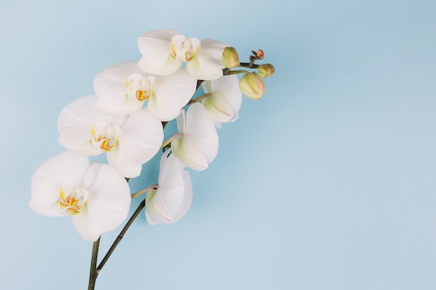 Beautiful delicate white orchid flower branch on blue background Free Photo