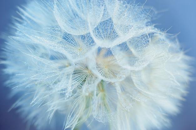 Beautiful dew drops on a dandelion seed macro. water drops on a parachutes dandelion. Premium Photo