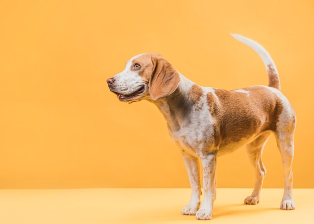Beautiful dog standing in front of yellow wall Free Photo