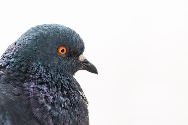 美しい鳩 Premium写真