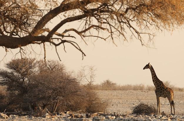乾燥した木の下にキリンが立っているサファリ風景の美しいドラマチックなショット 無料写真