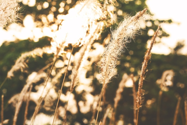 dry grass field background. Beautiful Dry Grass Field In Sunset Backlight And Nature Bokeh Background. Premium Photo Background