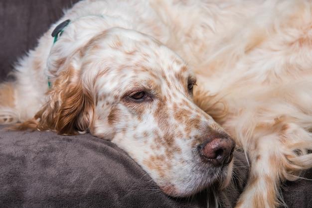 Красивый английский сеттер с коричневыми пятнами отдыхает во сне Premium Фотографии