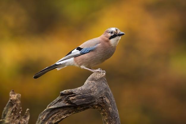 秋の風景にとまる色とりどりの羽を持つ美しいカケス Premium写真