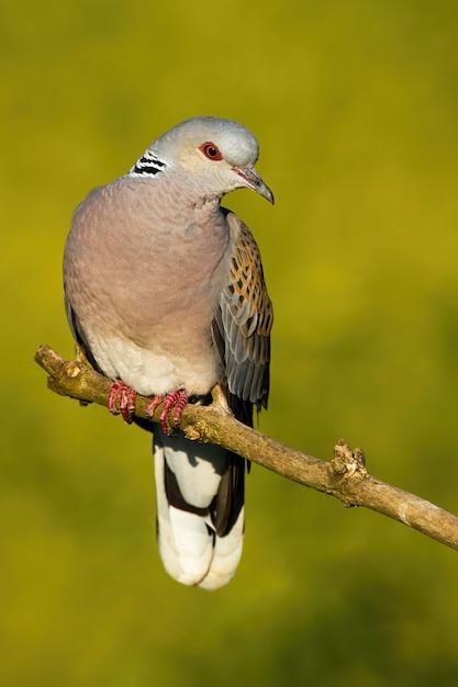 Красивый европейский голубь черепахи сидя на ветви в лете. Premium Фотографии