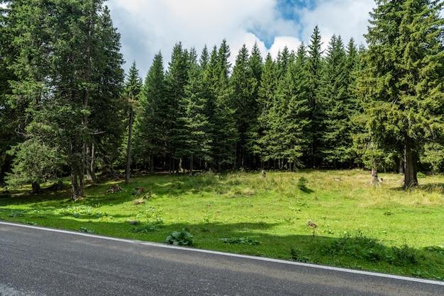 Beautiful evergreen pine trees Premium Photo