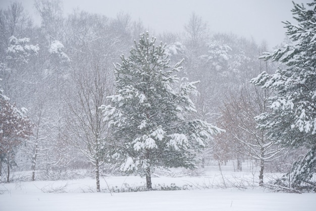 겨울 자연 배경에 눈이 아름 다운 전나무 나무. 프리미엄 사진