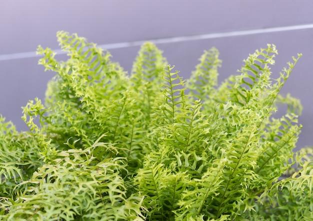 Beautiful fishbone fern or sword fern background Premium Photo