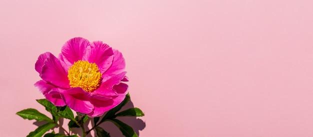 Красивая цветочная композиция из пионов. розовый цветок пиона на пастельной розовой предпосылке. плоская планировка, вид сверху, копия пространства, баннер Premium Фотографии