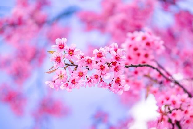 Beautiful flower pink wild himalayan cherry blossom or sakura Premium Photo