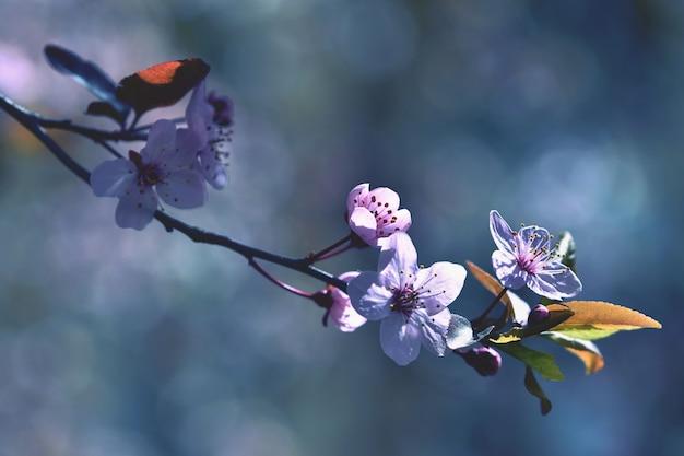 Beautiful flowering Japanese cherry Sakura. Season Background. Outdoor natural blurred background wi Free Photo