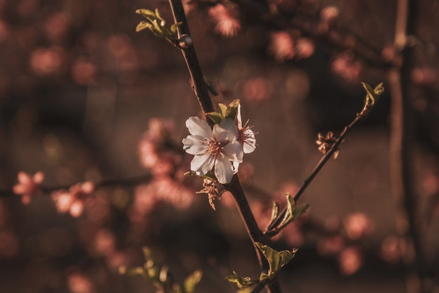 Beautiful flowering peach. background with flowers on a spring day, sunset Premium Photo