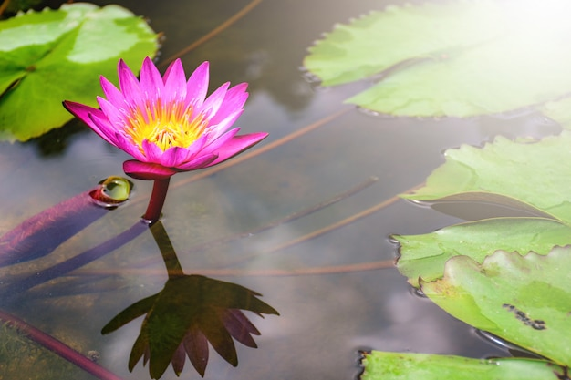 Beautiful flowering pink water lily - lotus in a garden in a pond. reflections on water surface. Premium Photo