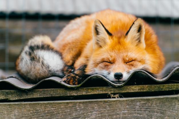 Beautiful fox sleeping on the kennel roof Premium Photo
