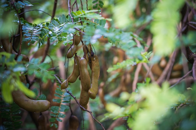 Beautiful fresh green tamarind leaf, tamarind fruit in the sunlight with blue sky background Premium Photo