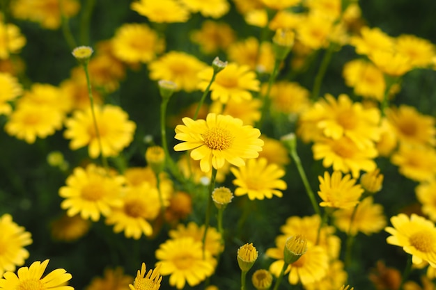 beautiful fresh yellow zinnia flowers garden background 2444